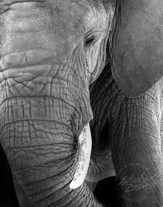 This elephant is so beautiful in black and white! I want to reach out and feel the texture of her skin.