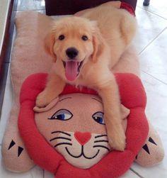 Cute Golden Retriever puppy