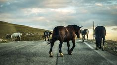 National Geographic Your Shot The only road in the Little Tibet, Italy, paved only in the late 70s. In this highland herds of horses, cattle and sheep fill the prairie, and rightly invade the road , as they are the masters of this land, and we just passers. Photograph by Alessandro Passerini
