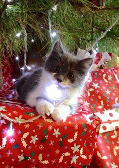 """catsandkitten: """" Kitty enjoyed Christmas! """""""