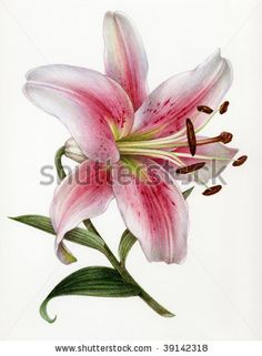 - Watercolor Painting Of A  Lily