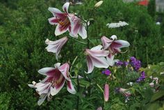 Pink Lilies.  Royalty free stock photos. All pictures are free for commercial and personal use. http://www.publicdomainpictures.net