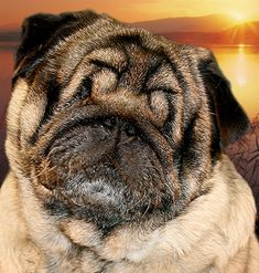 What a great story!  Moses: A very inspirational pug