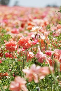 Coral Field Of Flowers