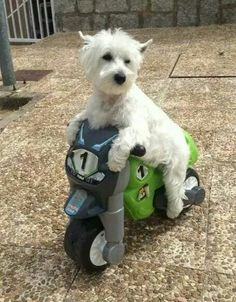 Claus on his motorcycle.... from a FB account. Here is a cutie who knows how to get around in style. www.TerrierTutor.com