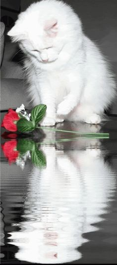 GIF, animated beautiful reflections | Rosas, Flores, Reflection, Cats, Animated Gifs, Animated Gif, Animated ...