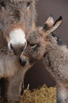 The Donkey Sanctuary Baby Donkey, Cute Donkey, Mini Donkey, Farm Animals, Animals And Pets, Cute Animals, Burritos, Beautiful Horses, Animals Beautiful