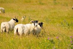 Les moutons écossais...   #scotland #ecosse #alainntours #mouton #sheep  © Jm Louis Tweed, Black, Wild Life, Animaux, Sheep, Black People
