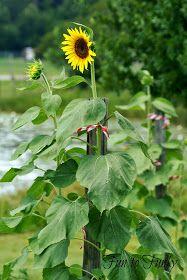 Fun to Funky: Mammoth Sunflowers + My Tips! Mammoth Sunflower, Thunderstorms, Sunflowers, Garden, Water, Tips, Plants, Summer, Fun