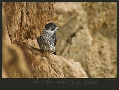"""Peregrine Falcon"" Picture Code: WL#401 Photo Location: San Diego, CA  Photographer: John Parsons Producer: David Parsons III Company: John Parsons Photography Copyright: 2013  To buy or use this photo contact us at:  Phone - (424) 234-3373 Email - David@JohnParsonsPhotography.com  For more info and to follow us visit us at: Website - JohnParsonsPhotography.com Instagram - @JohnParsonsPhotography Twitter - @JParsons_Photo"