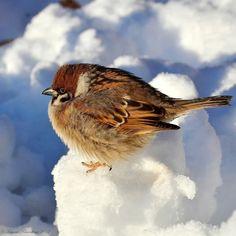 sparrow bird городской воробуй