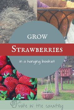 Grow Strawberries in a hanging basket! Container Gardening.