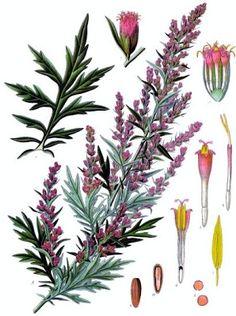Growing Hermione's Garden: Artemisia vulgaris - Mugwort
