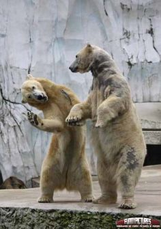 Polar Bear Fight – Funny Animals | 1000 Funny Pictures