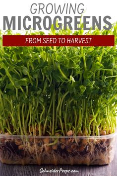 An indoor garden takes up very little space and will provide you with lots of nutrient dense greens. If you have a little counter space you can easily grow microgreens indoors or out. Learn how to grow microgreens without any fancy equipment in this step by step guide. Diy Garden Furniture, Diy Garden Projects, Garden Tips, Garden Ideas, Growing Sprouts, Growing Microgreens, Growing Herbs, Indoor Gardening, Organic Gardening