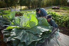 Giant lettuce grown in Alaska