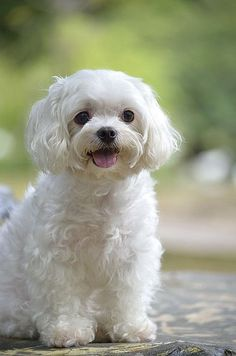 """Maltese Dog Click visit site and Check out Cool """"Maltese"""" T-shirts. This website is superb. Tip: You can search """"your name"""" or """"your favorite shirts"""" at search bar on the top. Cute Puppies, Cute Dogs, Dogs And Puppies, Doggies, Cavalier King Charles Spaniel, Baby Animals, Cute Animals, Maltipoo, Havanese"""