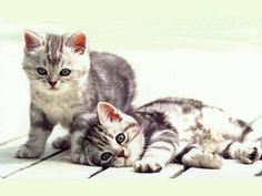 Under the sunshine by joli-chat on DeviantArt Cute Kittens, Cats And Kittens, Kitty Cats, Crazy Cat Lady, Crazy Cats, Grey Kitten, All About Cats, Maine Coon, Cat Gif