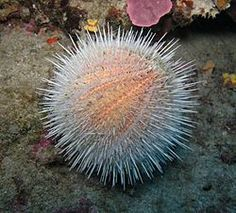 Sea urchins or urchins are small, spiny, globular animals which, with their close kin, such as sand dollars, constitute the class Echinoidea of the echinoderm phylum.