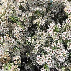 white waxflower makes a great types of white flowers for white flowers centerpieces