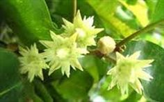 #Pikun The creamy, scented blossoms of this evergreen tree accent its lush appearance throughout the forests of #SouthEastAsia. Its fruit and bark have a plethora of ayurvedic medicinal uses.