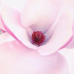 Georgia O'keeffe-esque magnolia