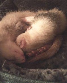 The Ferret snuggle