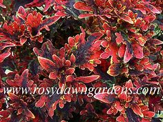 mounding ) Fantasy leaves of burnished copper have a deep purple center. Leaf edges are tipped with bright yellow. Appears to be on fire when grown in good light. Colorful Plants, Cool Plants, Tiny Flowers, Blue Flowers, Come Little Children, Greenhouse Plants, Burning Bush, Plant Catalogs, Yellow