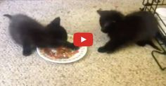 Cute Kittens Really Don't Want to Share Their Food!