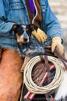 Cowboy sitting on a horse holding his Blue heeler dog. The blue heeler breed is one of the smartest and hardest working dog breeds you will ever experience. Baby Dogs, Dogs And Puppies, Doggies, Westerns, Cowboy And Cowgirl, Cowboy Horse, Cowboy Pics, Cowboy Town, Cowboy Art