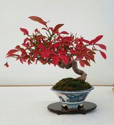 Bonsai 1819