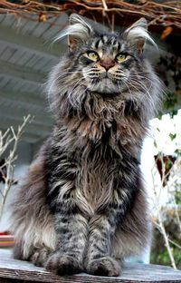 grizzly maine coon brown tabby, or Maureen having a bad hair day Lol