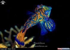 Mandarin Fish in Anda - Bohol - Philippines