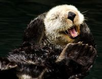 Save the Alaskan Sea Otter from Slaughter What a beautiful animal!