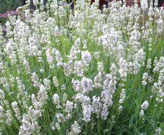 Lavender 'Jean Davis' (Lavandula angustifolia cv.)