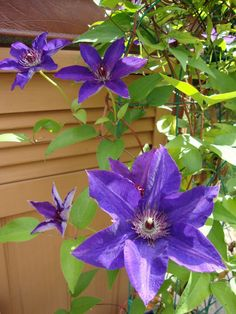Clematis plants provide years of beautiful vines and flower blooms, requiring very little care once established.