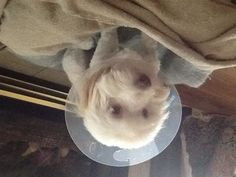 My poor puppy had to get a cone and stitches