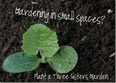 Three Sisters Garden. Short on space but still want a garden?  Try planting a Three Sisters Garden with your kids this year!  With a few modifications this Native American technique can even be adapted to grow in a pot and you can enjoy all the benefits of these plants that help each other grow in even the smallest gardening plans.  #smallspacegardens