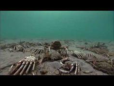 Spider Crabs vs. Stingray - YouTube  Amazing.
