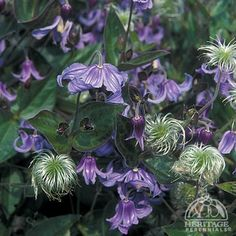 Clematis integrifolia Sun Exposure    Full Sun or   Partial Shade