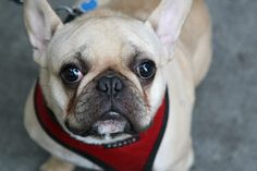 This is a frug - French bulldog/pug mix. Way too cute...