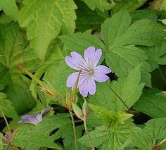 Geranium nodosum 'Typ Simon', lilarosa, Bergwald - Storchschnabel - Bild vergrößern