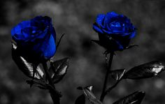 color splash blue roses Pictures, Images and Photos Black Rose Flower, Black And White Roses, Beautiful Rose Flowers, Black Dark, Blue Roses Wallpaper, Background Hd Wallpaper, Wallpaper Desktop, Hd Desktop, Wallpaper Ideas