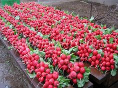 If you were looking for fruit gardening, take a look below Strawberry Garden, Fruit Garden, Edible Garden, Vegetable Garden, Fruit Plants, Fruit Trees, Planting Seeds Quotes, Pruning Tomato Plants, Companion Planting Chart