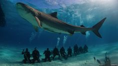 Researchers from the University of Miami, Florida have completed the first satellite-tagging study to find out how ecotourism impacts on tiger sharks. Debate rages in the conservation community over whether companies offering shark dives could be harming populations.