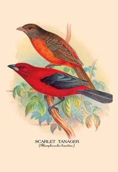 Scarlet Tanager 24x36 Giclee