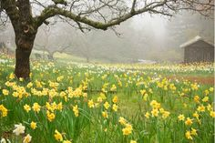 Daffodil Hill is a floral paradise located at Volcano, California. California Living, California Usa, Northern California, Volcano Ca, Great Places, Places To Visit, Daffodils, Spring Flowers, Beautiful World