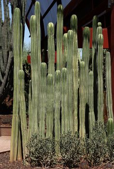 Cactus-Mexican Fence Post-Pachycereus marginatus-Dick Trelease