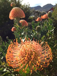 Pincushions - a fynbos plant, Pringle Bay, South Africa. (Photo A. Rare Flowers, Amazing Flowers, Cape Town South Africa, Out Of Africa, Trees To Plant, Garden Landscaping, Flower Power, Something To Do, Succulents