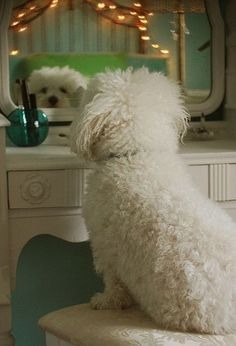 poodle mirror on the wall, whose the fairest Dog of all? Bichon Dog, Maltese Dogs, Poodles, Cute Puppies, Dogs And Puppies, Doggies, White Dogs, Cute Funny Animals, Dog Life